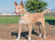 MECHA, Hund, Podenco-Mix in Spanien - Bild 23