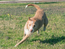 MECHA, Hund, Podenco-Mix in Spanien - Bild 24