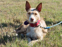 MECHA, Hund, Podenco-Mix in Spanien - Bild 3