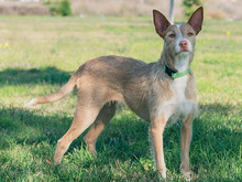 MECHA, Hund, Podenco-Mix in Spanien - Bild 30