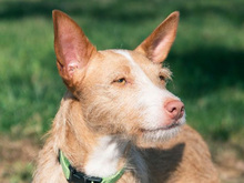 MECHA, Hund, Podenco-Mix in Spanien - Bild 31