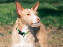 MECHA, Hund, Podenco-Mix in Spanien - Bild 32