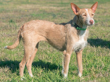 MECHA, Hund, Podenco-Mix in Spanien - Bild 34