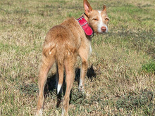 MECHA, Hund, Podenco-Mix in Spanien - Bild 4
