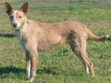 MECHA, Hund, Podenco-Mix in Spanien - Bild 5