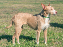 MECHA, Hund, Podenco-Mix in Spanien - Bild 7