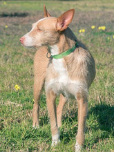 MECHA, Hund, Podenco-Mix in Spanien - Bild 8