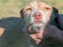 MECHA, Hund, Podenco-Mix in Spanien - Bild 9