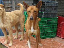 RICH, Hund, Podenco in Spanien - Bild 1