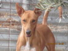 RICH, Hund, Podenco in Spanien - Bild 2