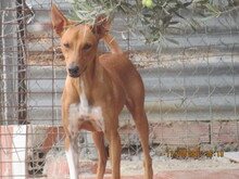 RICH, Hund, Podenco in Spanien - Bild 4