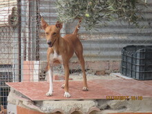 RICH, Hund, Podenco in Spanien - Bild 5