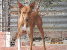 RICH, Hund, Podenco in Spanien - Bild 7