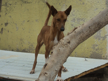 RICH, Hund, Podenco in Spanien - Bild 8