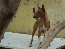 RICH, Hund, Podenco in Spanien - Bild 9
