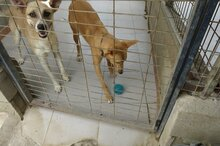 LLUVIA, Hund, Podenco-Mix in Spanien - Bild 11