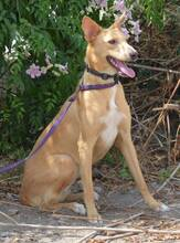 LLUVIA, Hund, Podenco-Mix in Spanien - Bild 2