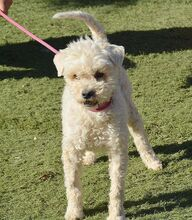 TOLO, Hund, Pudel-Terrier-Mix in Spanien - Bild 9