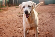 THOR, Hund, Labrador Retriever in Ofterdingen - Bild 1