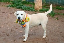 THOR, Hund, Labrador Retriever in Ofterdingen - Bild 3
