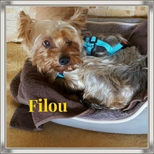 FILOU, Hund, Yorkshire Terrier-Mix in Niederwerrn - Bild 1