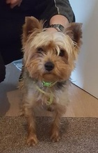 FILOU, Hund, Yorkshire Terrier-Mix in Niederwerrn - Bild 2