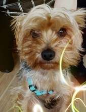 FILOU, Hund, Yorkshire Terrier-Mix in Niederwerrn - Bild 3