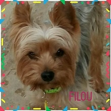 FILOU, Hund, Yorkshire Terrier-Mix in Niederwerrn - Bild 5