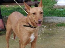 GINGER, Hund, Podenco in Spanien - Bild 1