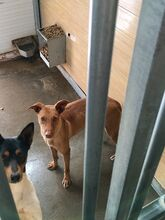 GINGER, Hund, Podenco in Spanien - Bild 2