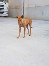 GINGER, Hund, Podenco in Spanien - Bild 3