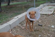 GINGER, Hund, Podenco in Spanien - Bild 4