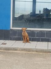 GINGER, Hund, Podenco in Spanien - Bild 6