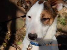 NELLY, Hund, Terrier-Mix in Bulgarien - Bild 1