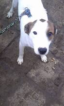 NELLY, Hund, Terrier-Mix in Bulgarien - Bild 2