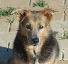 PRINCESA, Hund, Golden Retriever-Mix in Portugal - Bild 1