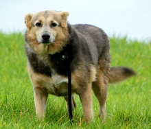 PRINCESA, Hund, Golden Retriever-Mix in Portugal - Bild 13