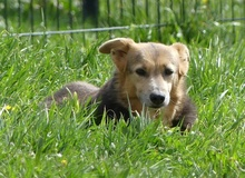 PRINCESA, Hund, Golden Retriever-Mix in Portugal - Bild 6