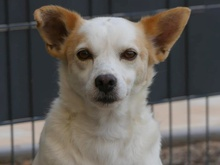 KID, Hund, Jack Russell Terrier-Mix in Portugal - Bild 1