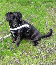 NERO, Hund, Labrador-Mix in Vallendar - Bild 2