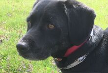 NERO, Hund, Labrador-Mix in Vallendar - Bild 5
