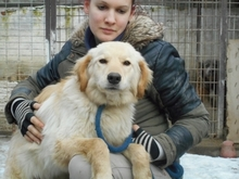 ALMERA, Hund, Golden Retriever-Mix in Ungarn - Bild 1