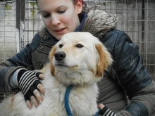 ALMERA, Hund, Golden Retriever-Mix in Ungarn - Bild 3