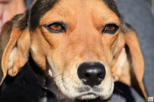 ZARA5, Hund, Beagle-Mix in Zypern - Bild 6