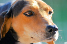 ZARA5, Hund, Beagle-Mix in Zypern - Bild 9