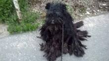 CITROM, Hund, Puli-Mix in Ungarn - Bild 2