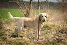 GUFFIE, Hund, Golden Retriever in Martinshöhe - Bild 15