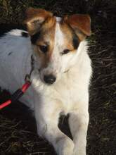 KARLA, Hund, Foxterrier-Mix in Ungarn - Bild 1