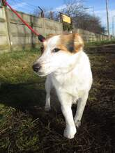 KARLA, Hund, Foxterrier-Mix in Ungarn - Bild 2