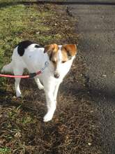 KARLA, Hund, Foxterrier-Mix in Ungarn - Bild 3